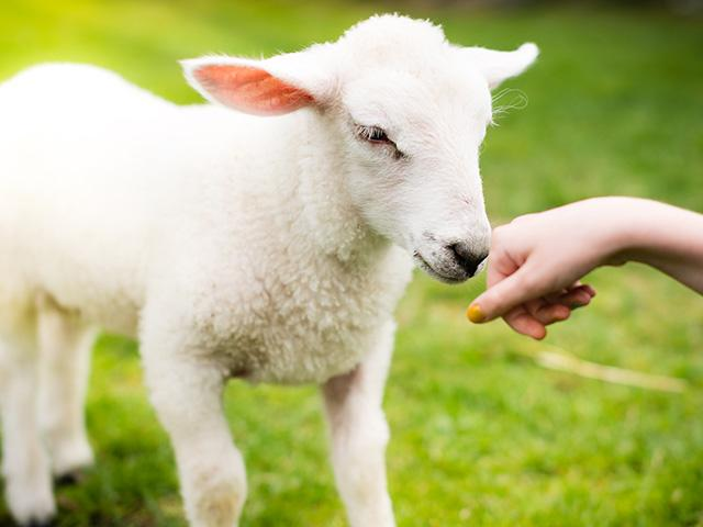 lamb-pet-child_si.jpg