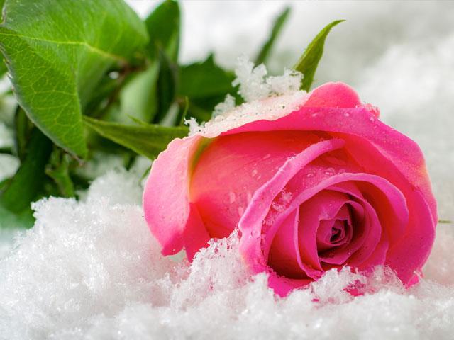 pink-rose-snow_si.jpg