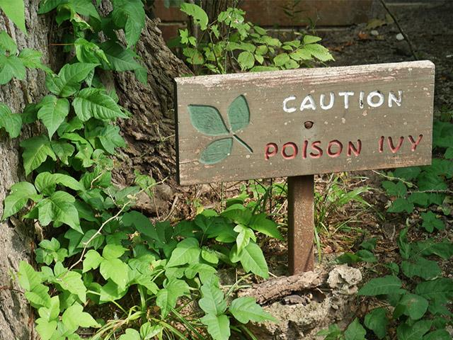 poison ivy weed