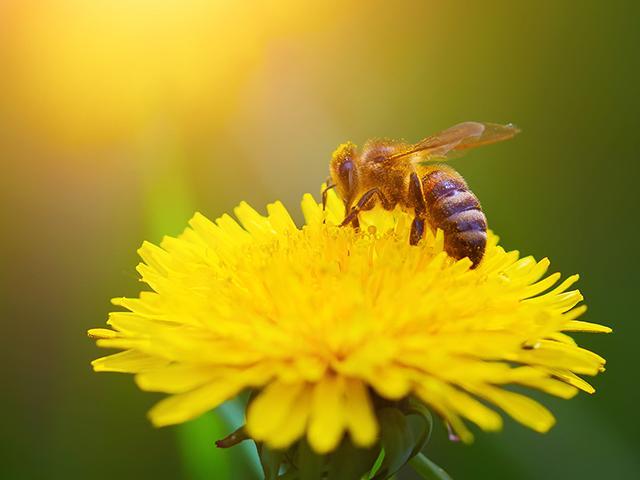 sunflower-bee-sunny_SI.jpg