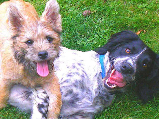two-dogs-playing_si.jpg