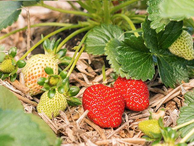 unripe strawberries fruit